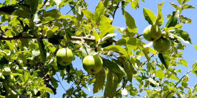 PRUNING FRUIT AND NUT TREES