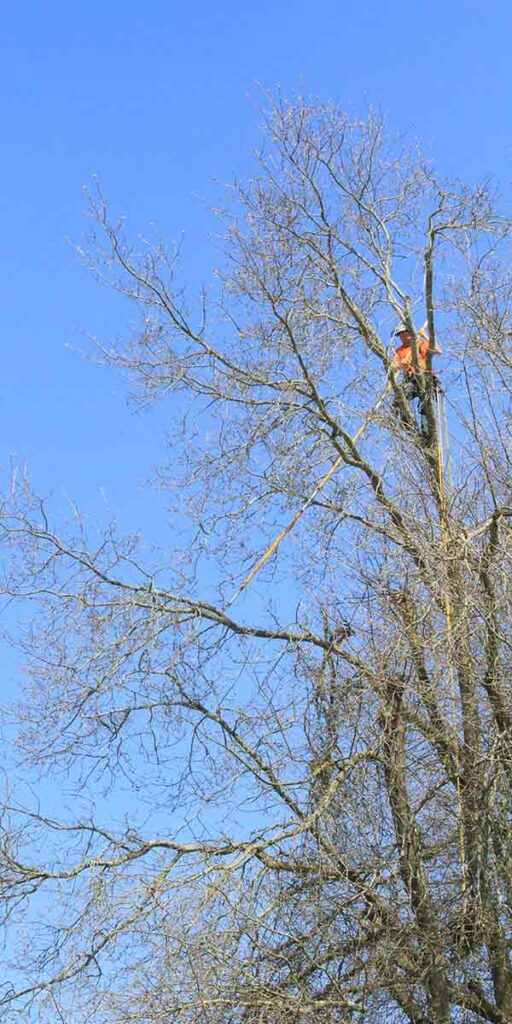 crew working safely high up in a tree