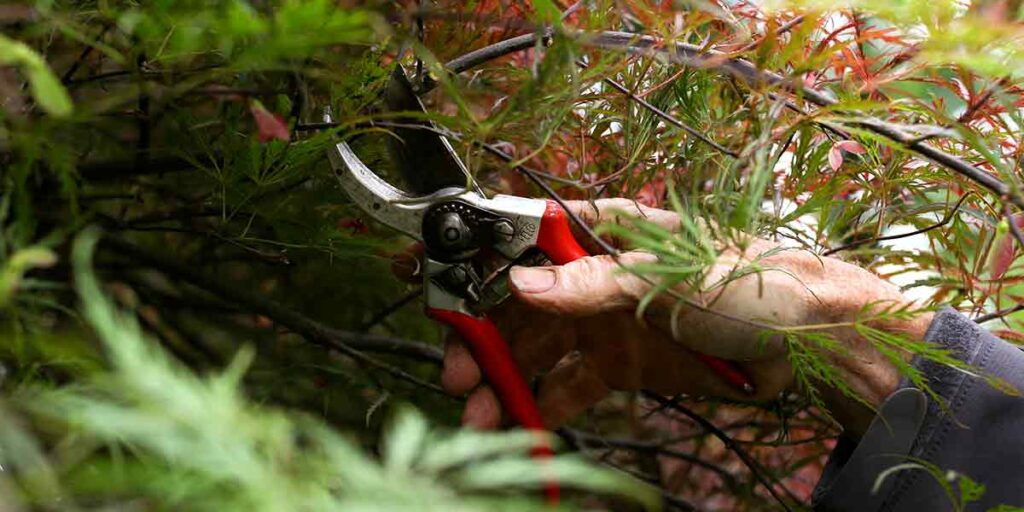 pruning shrub with hands and tools